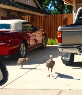 Turkeys in the Driveway