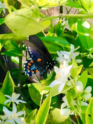 The Underside of a Pipevine Swallowtail